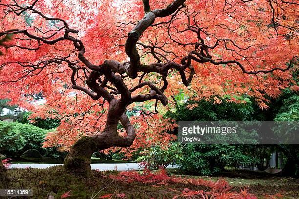 Érable japonais en automne