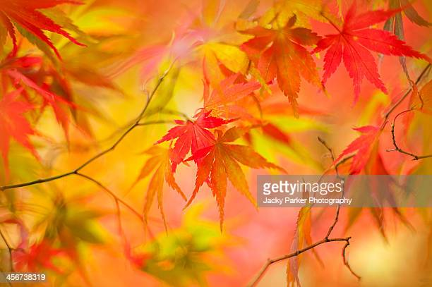 Japanese maple tree leaves - Acer Palmatum foliage