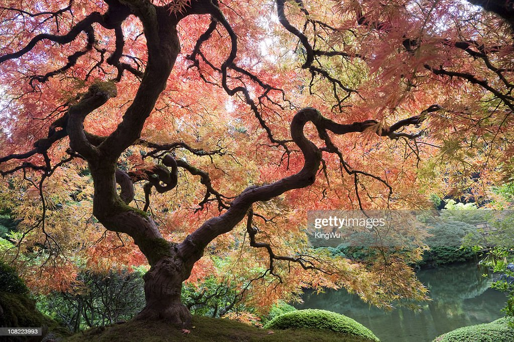 Japanese Maple Tree with Autumn Leaves : Stock Photo