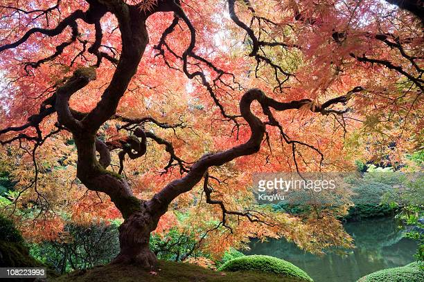 Japanese Maple Tree with Autumn Leaves