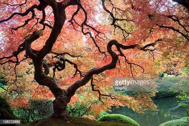 Japanische Ahorn-Baum mit Herbst Blätter