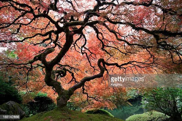 Érable du Japon à feuilles d'automne