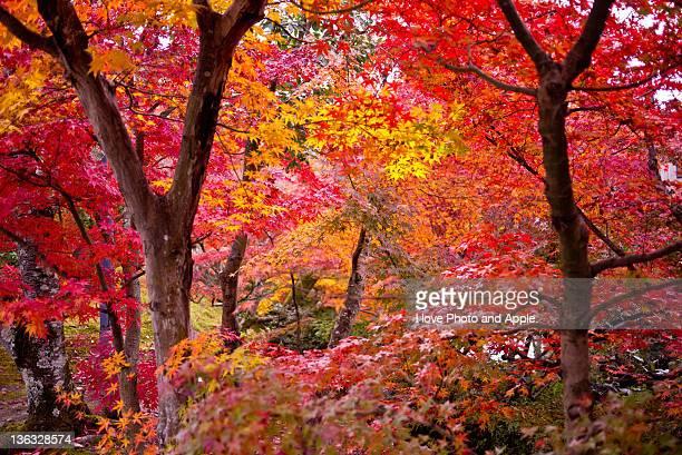 Japanese maple trees