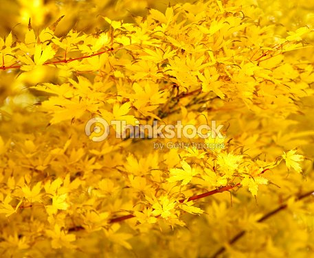 Rable japonais feuilles de jaune photo thinkstock - Feuille erable du japon ...