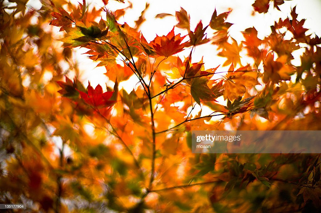 Japanese maples : Stock Photo
