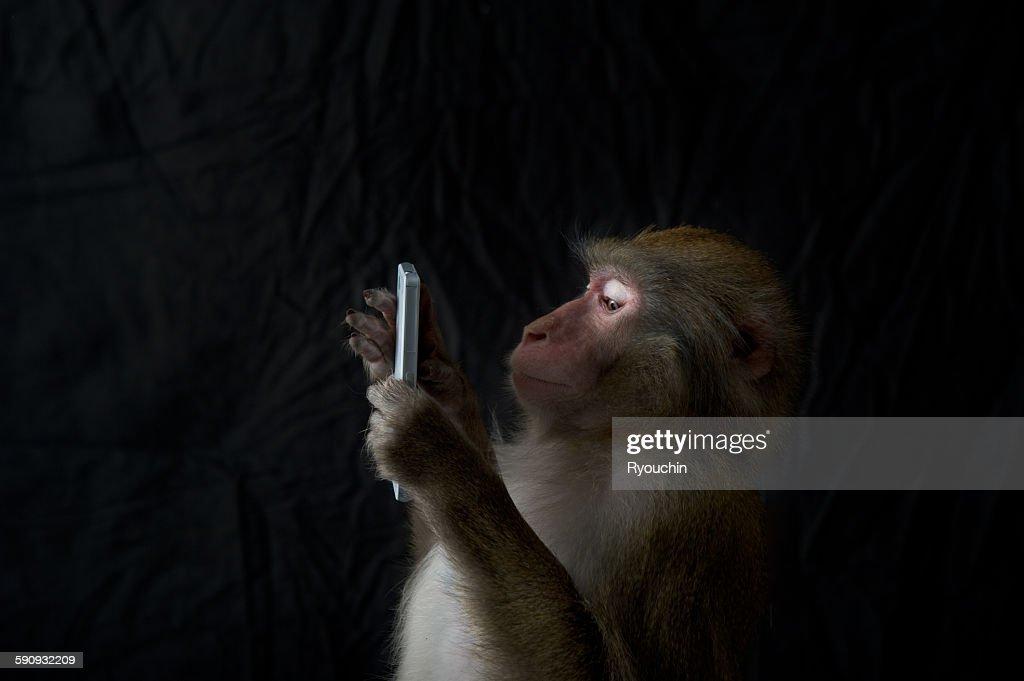 Japanese monkey, Monkey northern limit : Stock Photo