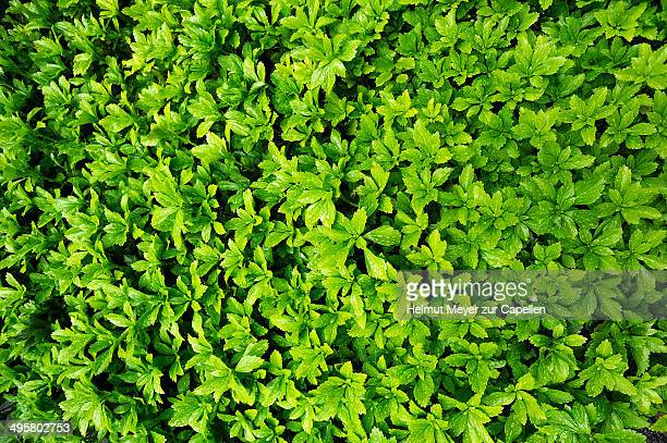 Japanese Pachysandra or Japanese Spurge -Pachysandra terminalis- with raindrops, evergreen ground cover, Bad Reichenhall, Berchtesgadener Land District, Upper Bavaria, Bavaria, Germany