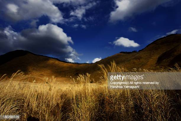 Japanese pampas grass field