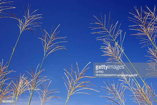 Japanese pampas grass under a blue sky