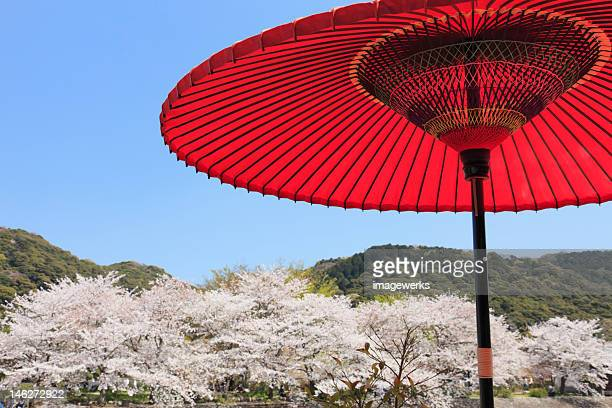 Japanese paper umbrella in front of Cherry tree
