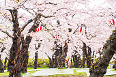 Cherry blossom tree in Goryokaku park .