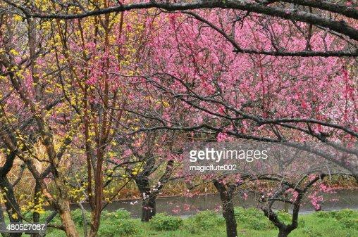 Japanese Plum Blossom : Stockfoto