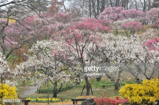 Japanese Plum Blossom : Stock Photo