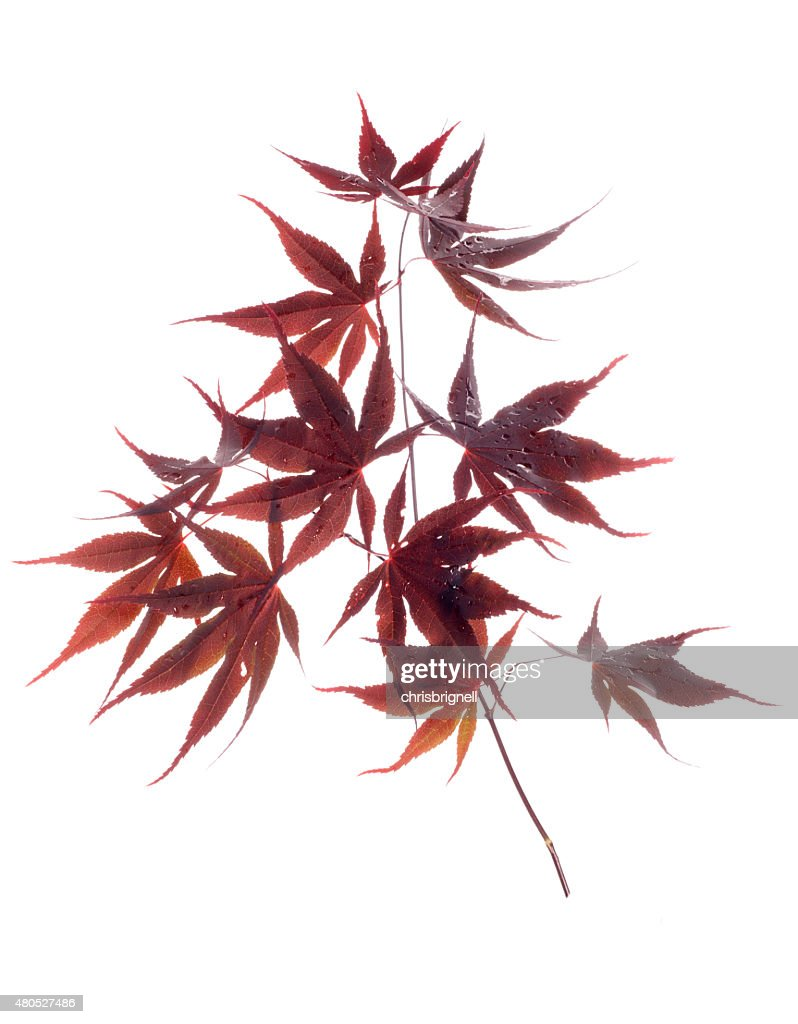 japanese red leaf maple : Stock Photo