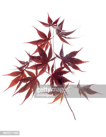 japanese red leaf maple : Stockfoto