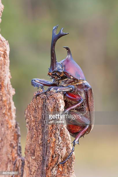 Japanese rhinoceros beetle