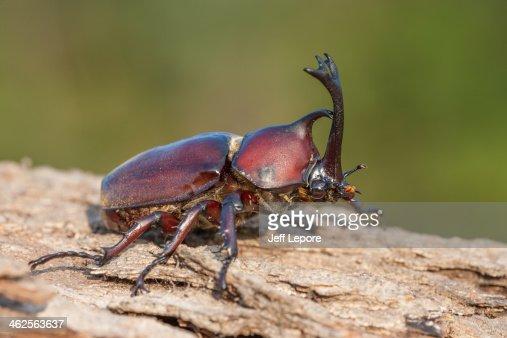 japanese rhinoceros beetle underside