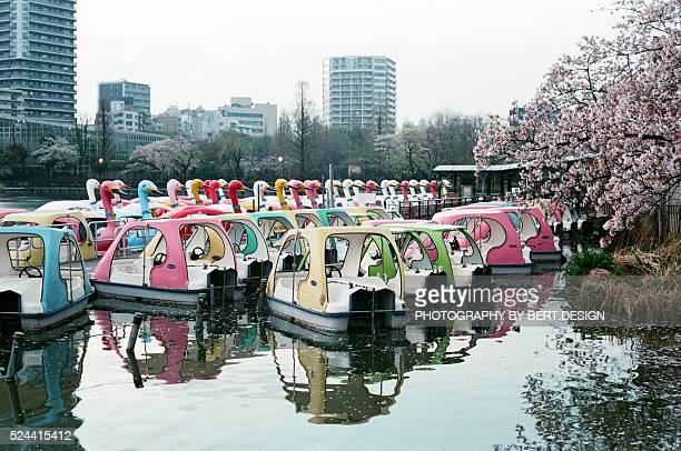 Japanese sakura cherry blossom blooming in Ueno Park Shinobazu pond , Tokyo