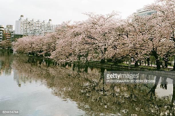 Japanese sakura cherry blossom blooming in Ueno park , Tokyo