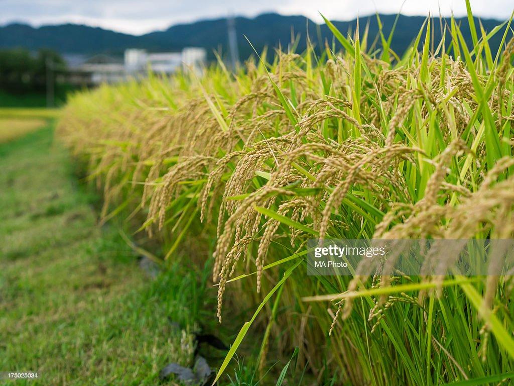 Japanese September Rice Paddy