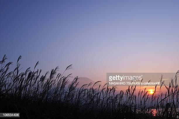 Japanese Silver Grass (Japanese Silver Grass) and Mt Fuji at dusk, Yamanashi Prefecture, Honshu, Japan