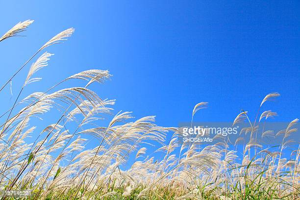 Japanese silver grass and sky with clouds