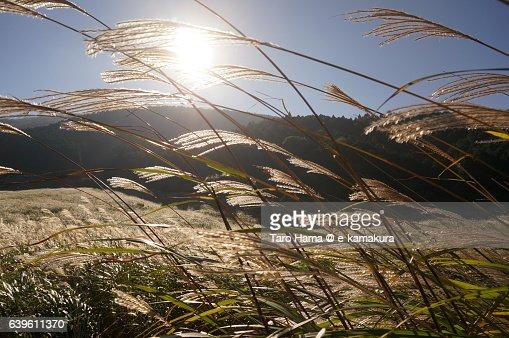 Japanese silver grass in Hakone : ストックフォト
