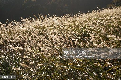 Japanese silver grass in Hakone