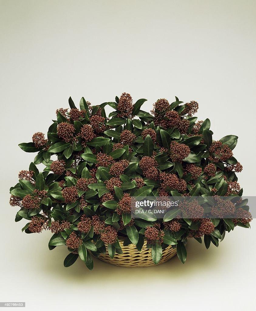 Japanese skimmia (Skimmia japonica), Rutaceae.