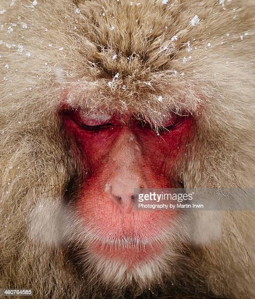 Japanese Snow Monkey breathing in cold winter air