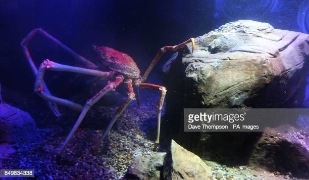 A Japanese Spider crab named Big Daddy as it settles in to its new home at Blackpool's Sea Life Centre