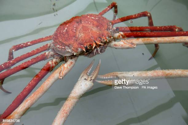 A Japanese Spider crab named Big Daddy settles in to its new home at Blackpool's Sea Life Centre