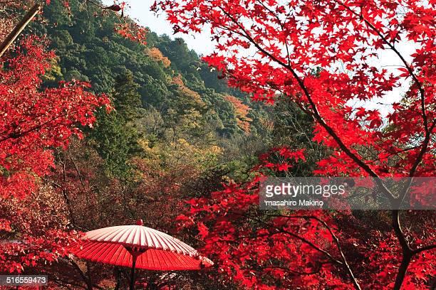 Japanese umbrella in Autumn maple trees