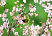 A Japanese whiteeye is seen at a fully bloomed plum branch at the Oinoyama Park on February 4 2016 in Shimonoseki Yamaguchi Japan The bird symbolises...
