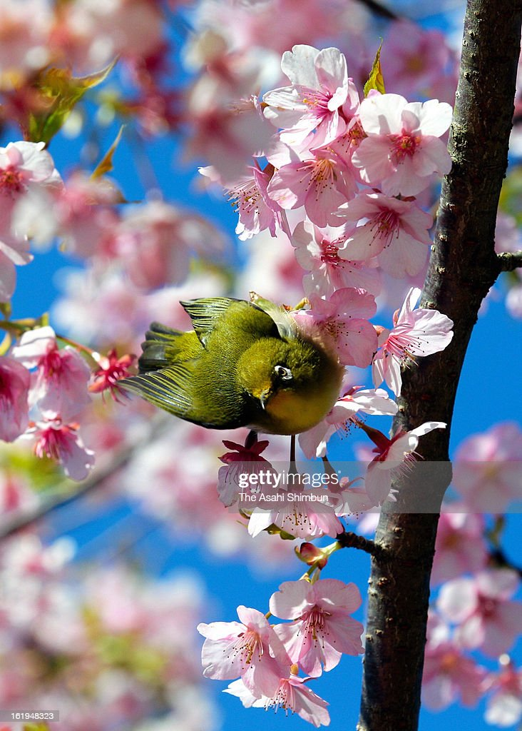 A Japanese white-eye is seen looking for cherry blossom nectar at Flower Park Kagoshima on February 16, 2013 in Ibusuki, Kagoshima, Japan.