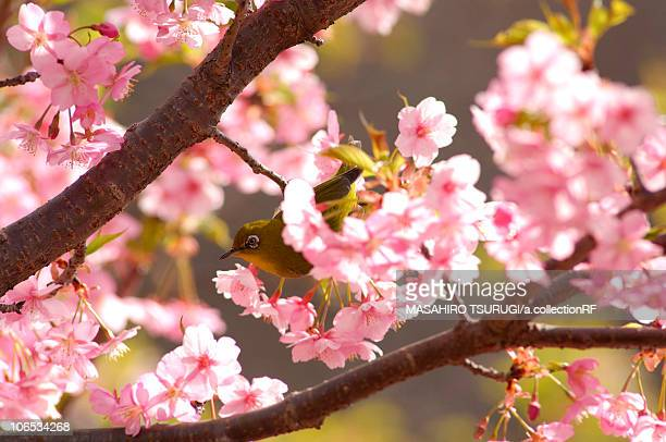 Japanese white-eye (Zosterops japonicus) perching in cherry tree, Kanagawa Prefecture, Honshu, Japan