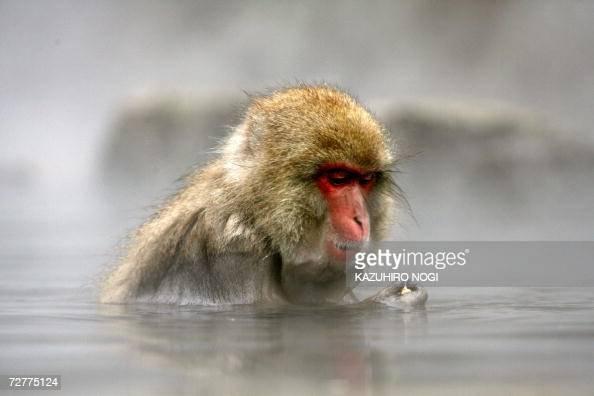 Japanese wild monkey enjoys an openair hot spring at the Jigokudani Monkey Park near Shigakogen in the northern part of Nagano prefecture 08 December...