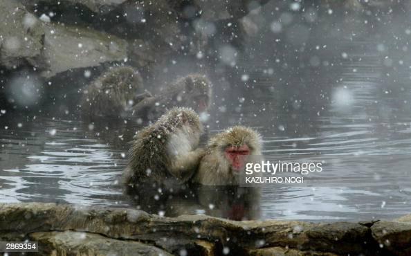 Japanese wild monkeys are taking a bath at an openair hot spring while snowflakes are falling down at the Jigokudani Monkey Park in Shigakogen Nagano...