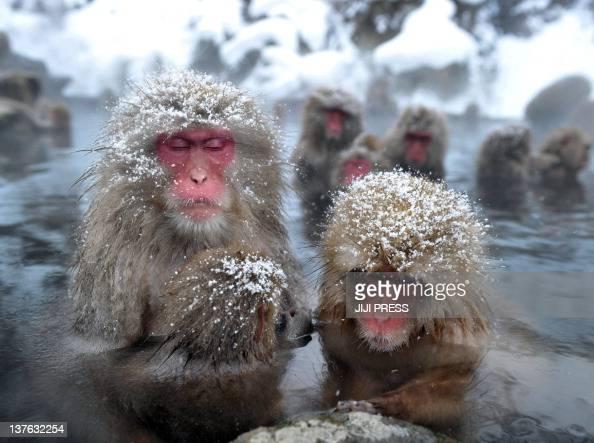 Japanese wild monkeys enjoy an openair hot spring at the Jigokudani Monkey Park at Yamanouchi town near Shigakogen ski resort in Nagano prefecture on...