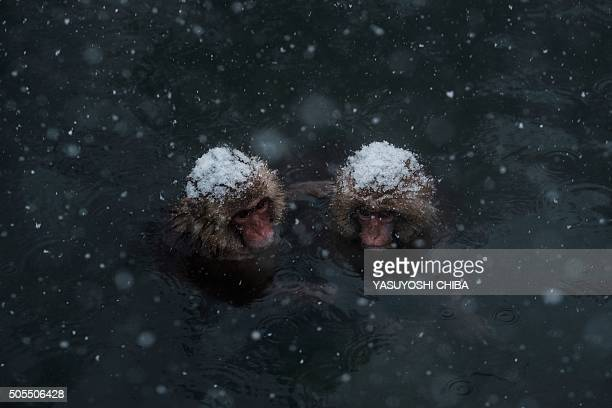 Japanese wild monkeys known as 'snow monkeys' bathe in a hot spring at the Jigokudani Wild Monkey Park in Yamanouchi town Nagano prefecture Japan on...