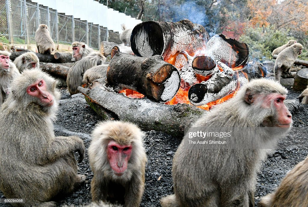 Japanese Yaku macaque monkeys warm themselves by bonfire to keep warm at Japan Monkey Cenre on December 20, 2016 in Inuyama, Aichi, Japan. The annual event, originated in 1955 when staffs burnt the debris and logs of the thyphoon Vera hitting across Japan and the macaques gathered around the fire, is held on weekends and holidays until the end of February.