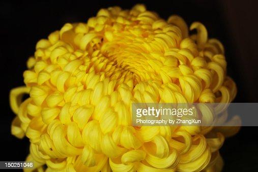 Japanese yellow chrysanthemum flower petals : Stock Photo