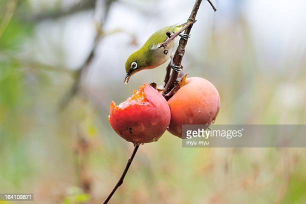 Japaneze white-eye and Japanese persimmon