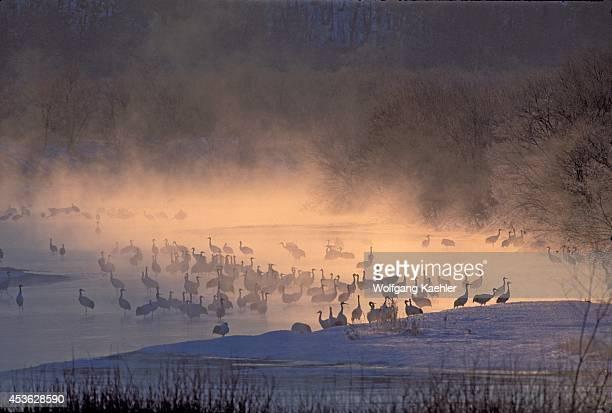 Japanhokkaido Isnear Kushirotsurui Japanese Cranes In River Misty Dawn