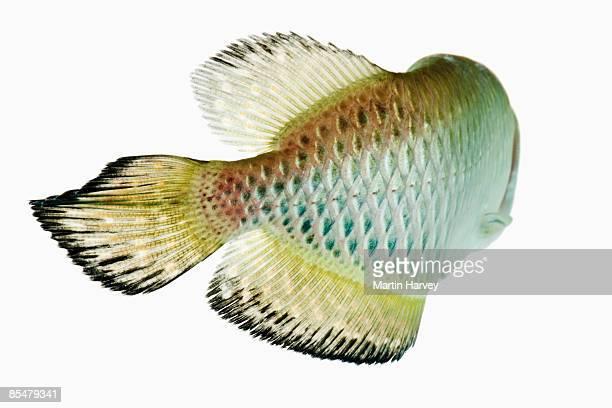 Jardin's arowana fish (Scleropages jardini)