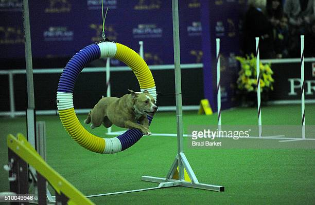 Jared the American Pit Bull Terrier competes at the7th Annual AKC Meet The Breeds at Pier 92 on February 13 2016 in New York City