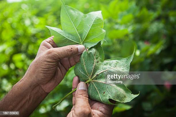 Jarnail Singh a retired teacher and farmer displays for comparison the leaf from a healthy cotton plant left and a leaf from a pestridden cotton...