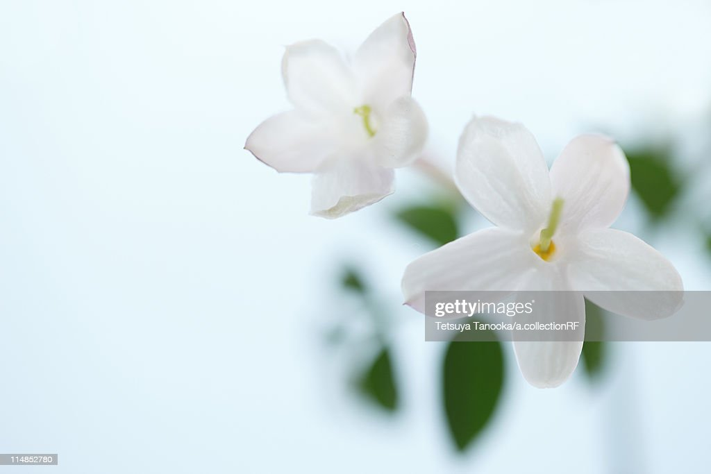 Jasmine Flowers : Stock Photo
