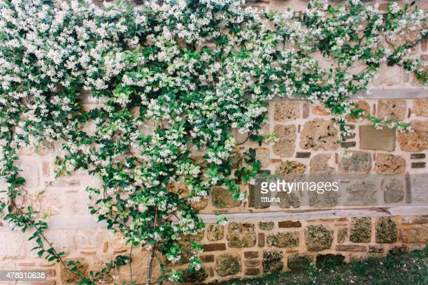 jasmine on wall, outdoor photo beauty in nature