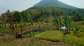 INDONESIA Java, by train from Bandung to Yogyakarta , landscape with rice fields